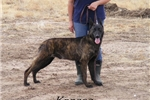 Picture of a Dutch Shepherd Puppy
