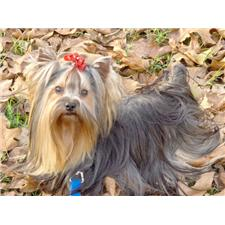 View full profile for Southeastern Yorkshire Terriers