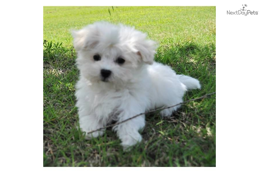 maltese puppies for sale in oklahoma maltese puppy for sale near oklahoma city oklahoma 7442