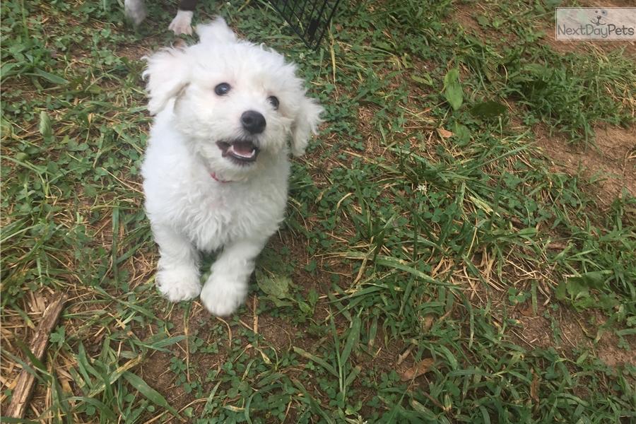 Bichon Frise puppy for sale near Fredericksburg, Virginia