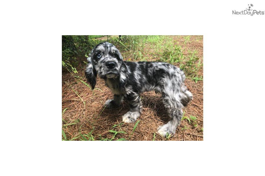 Cocker Spaniel Puppy For Sale Near Fredericksburg Virginia