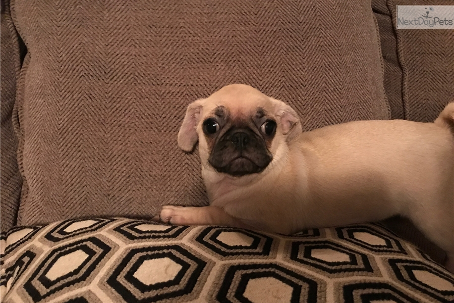 Pug puppy for sale near Fredericksburg, Virginia | 41144f6a-d171