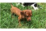 Picture of Beautiful Dachshund Puppy Ready Now