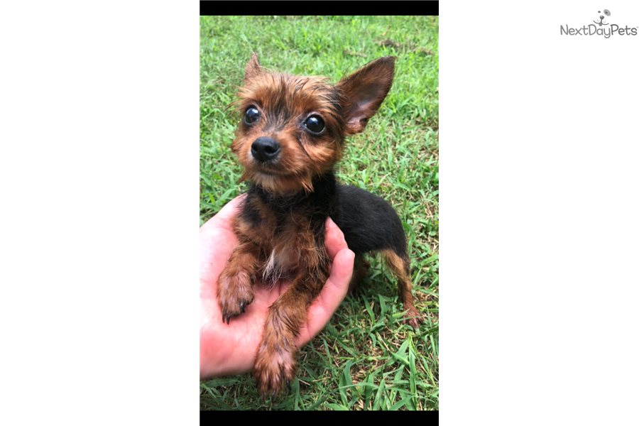 Yorkshire Terrier Yorkie Puppy For Sale Near Fredericksburg Virginia