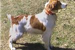 Picture of Brittany male puppy