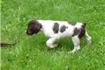 Picture of upcoming Brittany litter