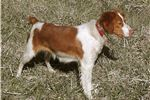 Picture of American Brittany puppy