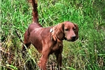 Picture of Irish Field Setter upcoming litter