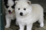 Picture of a Spitz Puppy