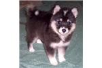 Picture of Dahlia - Huskimo
