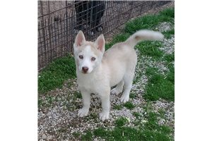 Penny is availab | Puppy at 11 weeks of age for sale