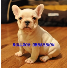 View full profile for Bulldog Obsession