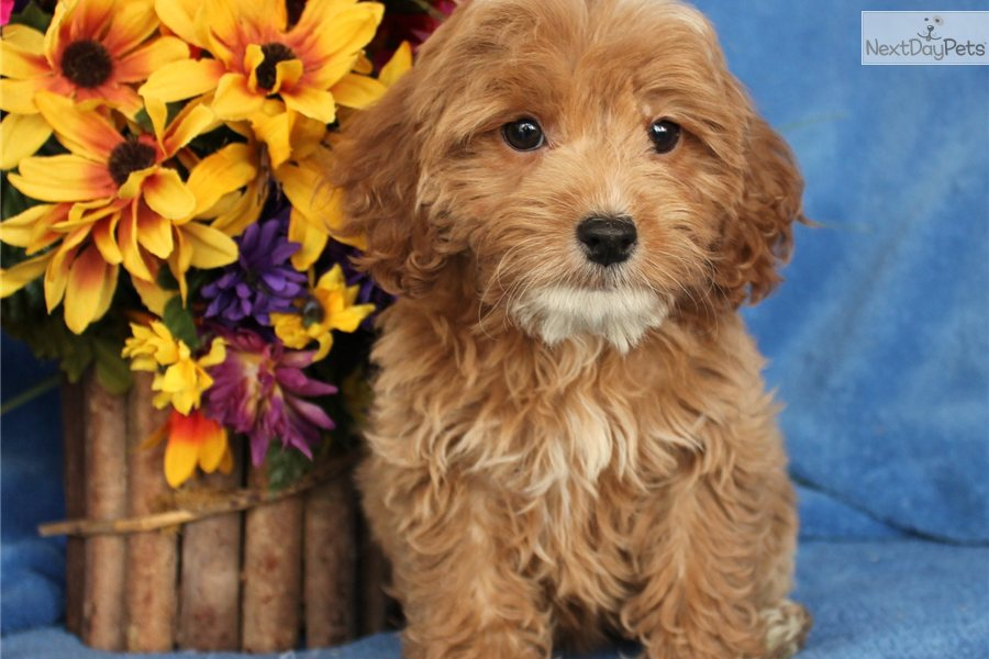 Cockapoo puppy for sale near Joplin, Missouri | 2fd5603b-a871