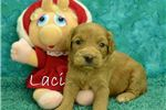 Picture of  $1600 LACI spayed and microchipped F1 Cavapoo
