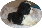 Picture of a Miki Puppy