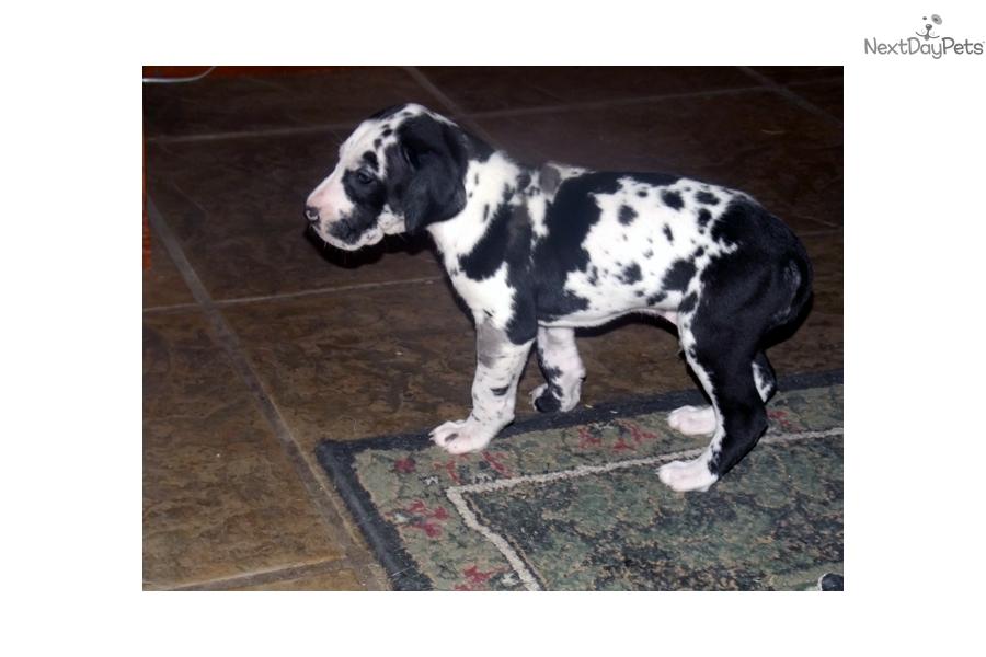 Gunner Great Dane Puppy For Sale Near Kansas City Missouri