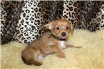 Picture of Male Chorkie puppy Rome