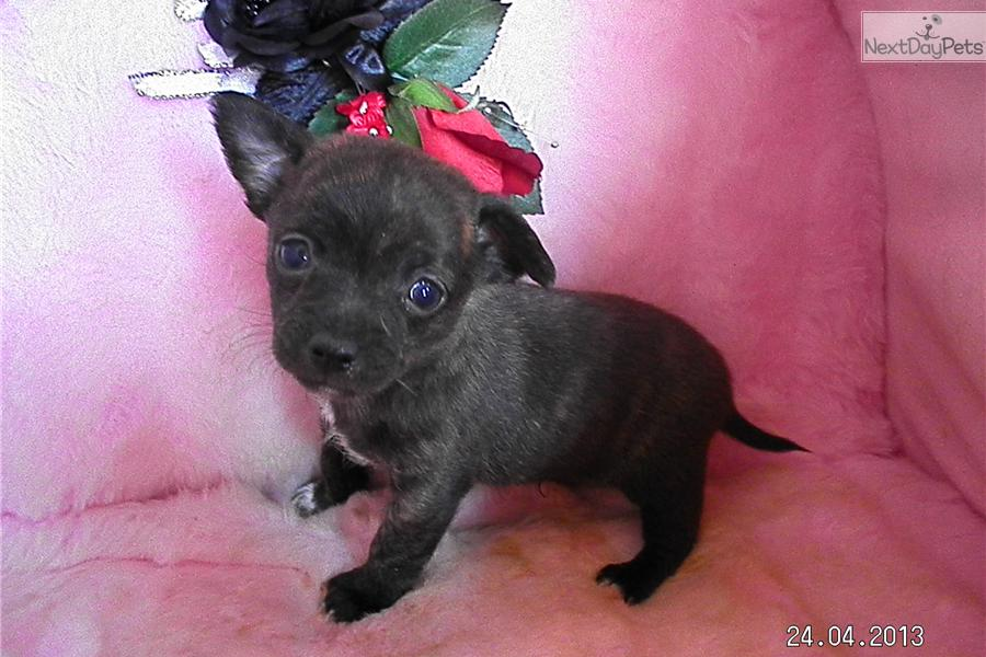 brindle chihuahua for sale meet dudley a cute chihuahua puppy for sale for 350 brindle 1718