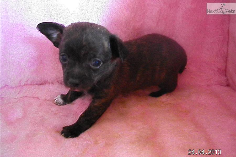 brindle chihuahua for sale meet dudley a cute chihuahua puppy for sale for 350 brindle 7302