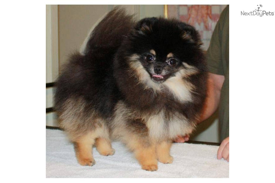 pomeranian breeders in tn pomeranian for sale for 2 200 near nashville tennessee 6771