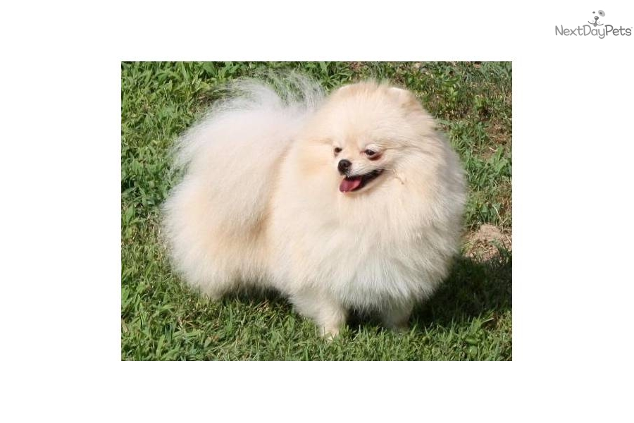 pomeranian breeders in tn pomeranian puppy for sale near nashville tennessee 2056