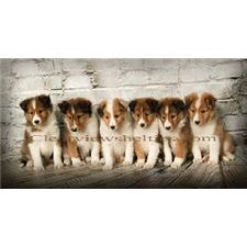 View full profile for Clearview Shetland Sheepdogs