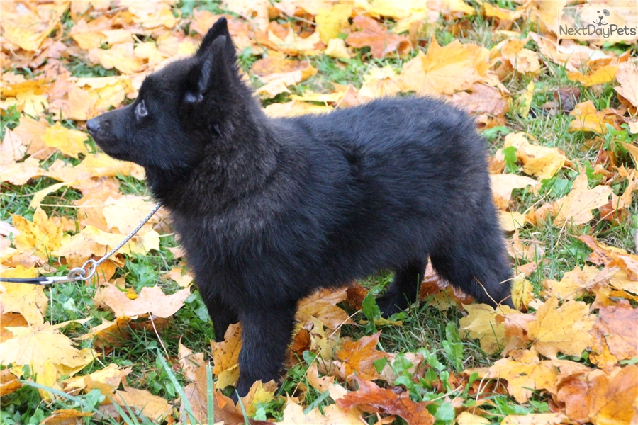 Calvin Schipperke Puppy For Sale Near Southeast Ia Iowa D7ba7c2f