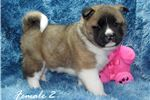 AKC CH Chief/Izzy Female puppies available | Puppy at 6 weeks of age for sale