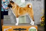 Picture of AKC Champion sired Male 4