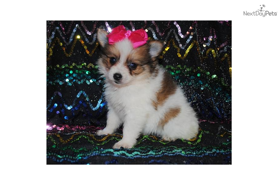 party pomeranian puppies for sale meet party pom girl pending a cute pomeranian puppy for 4899