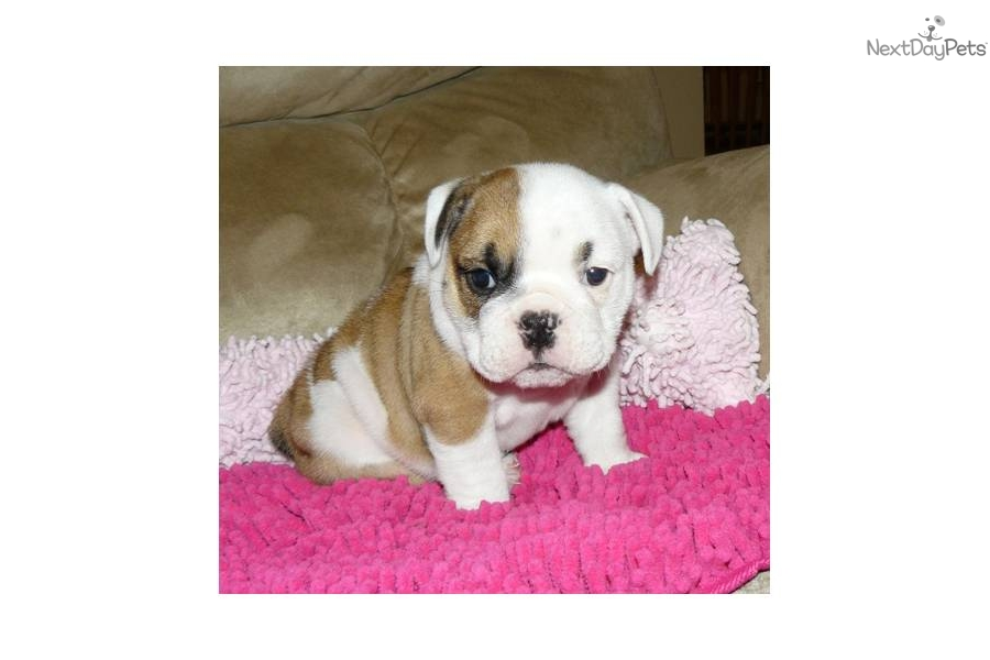 bulldog food delivery meet porsche a cute english bulldog puppy for sale for 2731