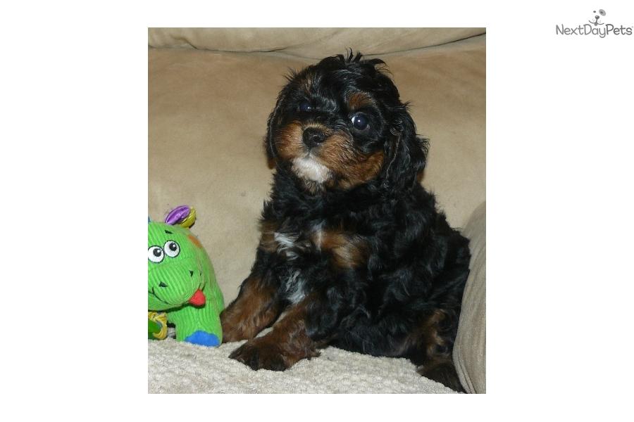 Charlie Cavapoo Puppy For Sale Near Springfield Missouri