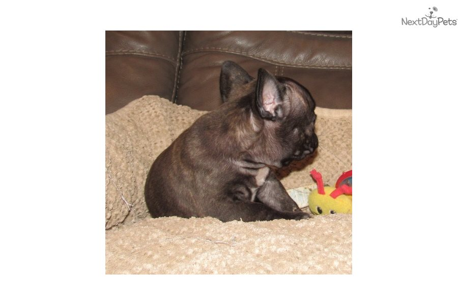 Jackson French Bulldog Puppy For Sale Near Springfield Missouri