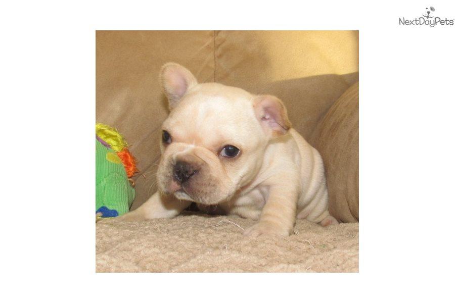 Dallas French Bulldog Puppy For Sale Near Springfield Missouri