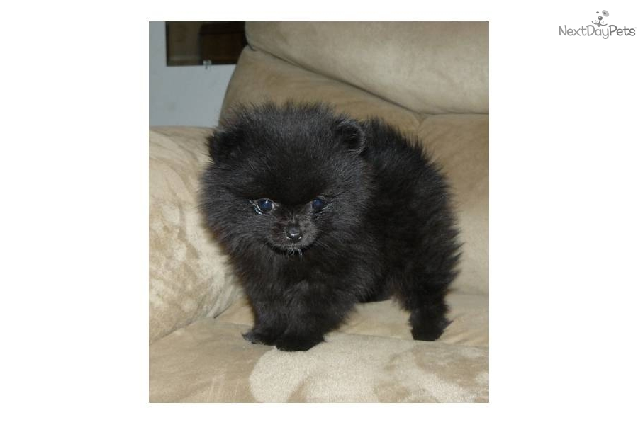 The gallery for --> Black Puppy Pomeranian
