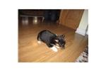Picture of a Corgi Puppy