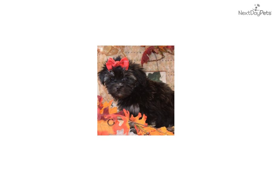 Ziggy Brussels Griffon Puppy For Sale Near Dallas Fort