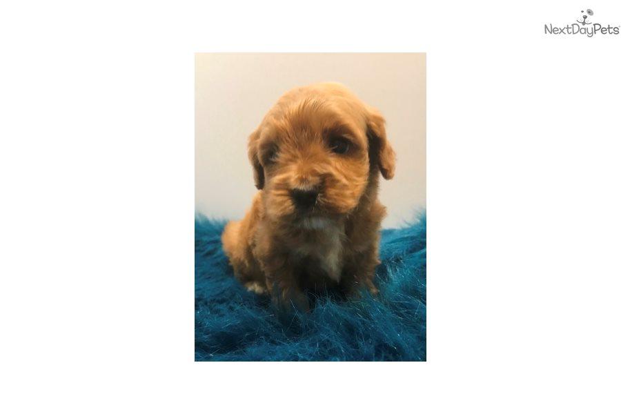 Charley: Cavapoo puppy for sale near Dallas / Fort Worth, Texas