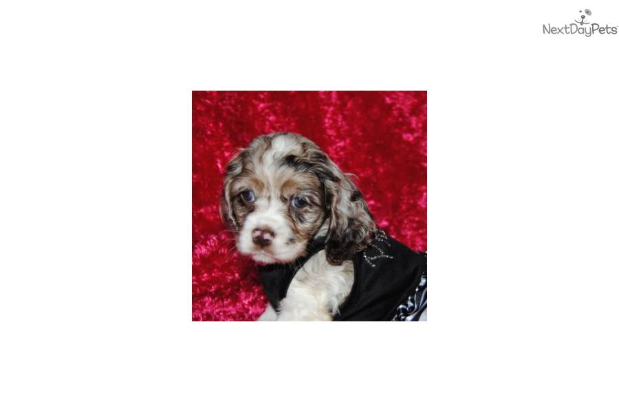 cocker spaniel puppies for sale in texas bailey cocker spaniel puppy for sale near dallas fort 6294