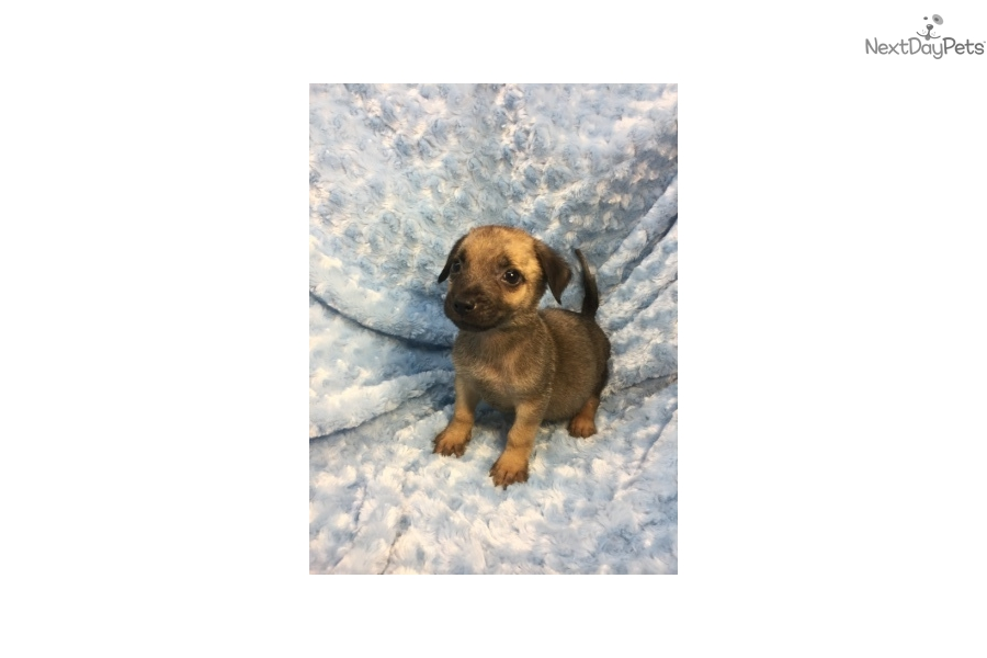 Kash: German Shepherd puppy for adoption near Dallas / Fort