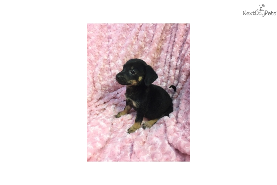 German Shepherd puppy for adoption near Dallas / Fort Worth