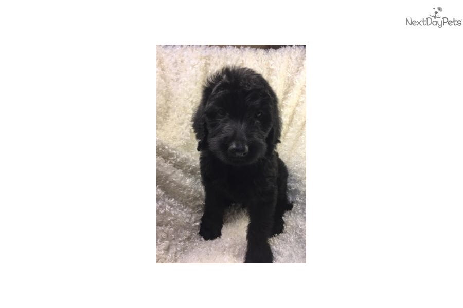 Layton Goldendoodle Puppy For Sale Near Dallas Fort Worth