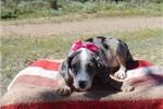 Picture of Kelly, Catahoula, Working Dog - Unregistered