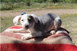 Picture of Keystone, Catahoula, Working Dog - Unregistered