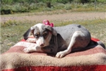 Picture of Karlie Catahoula, Working Dog - Unregistered