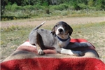 Picture of Konner, Catahoula, Working Dog - Unregistered