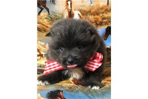Pomeranian Puppies For Sale From Dallas Fort Worth Texas Breeders