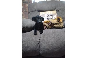 Dallas | Puppy at 20 weeks of age for sale