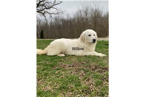 Picture of AKC Willow
