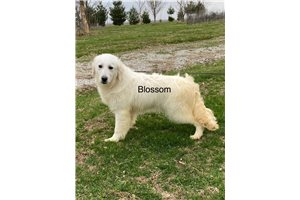 Picture of AKC Blossom
